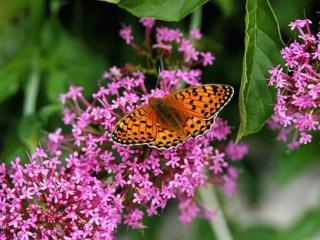 обои Бабочка на сиреневых цветочках фото