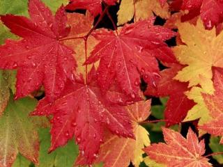 обои Красные,   жёлтые и зелёные кленовые листья в каплях дождя фото