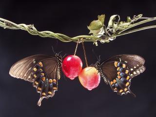 обои Две бабочки на плодах фото