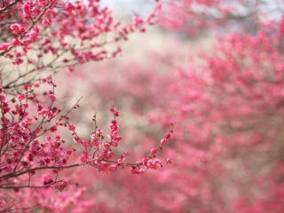 обои Розовые краски весеннего цветения фото