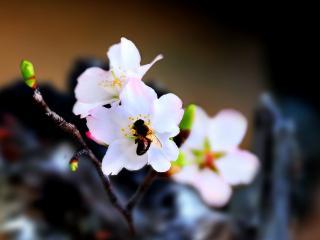 обои Пчелкка на вишневом цветении фото