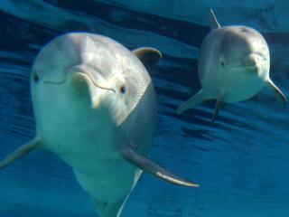 обои Два обоятельных дельфинчика в воде фото