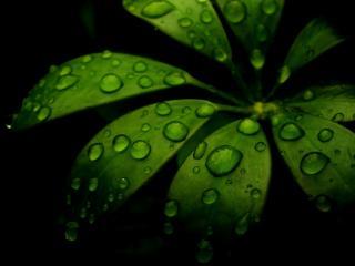 обои Растение в полумраке с каплями на темно-зеленых листьях фото