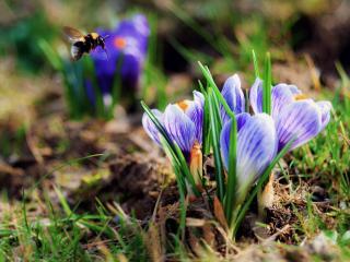обои Пчела у крокусов фото