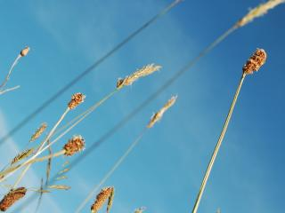 обои Стебельки сухие и фон неба голубого фото