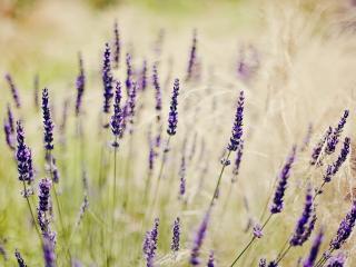 обои Стебельки цветущей сиреневой травы фото