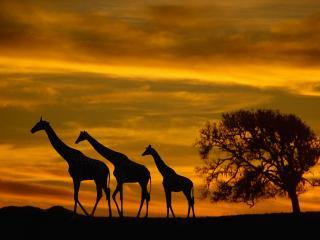обои для рабочего стола: Три силуэты жирафов в солнечном закате