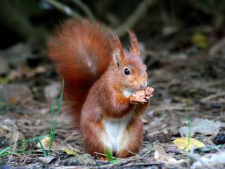 обои Рыженькая белочка с орешком фото
