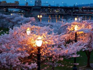 обои Фонари у цветущих деревьев на фоне моста через реку фото