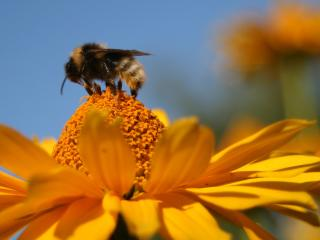 обои Пчела на желтом цветке собирает нектар фото