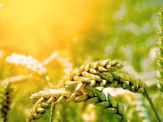 обои Рисунок колосков пшеницы фото