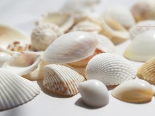 обои Белые ракушки морские фото