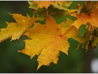 обои Кленовые листья с серёжками фото
