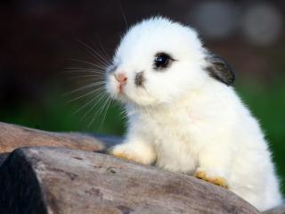 обои Белый кролик с черными ушками на колоде фото