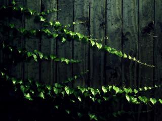 обои Ветки вьющегося растения на заборе фото