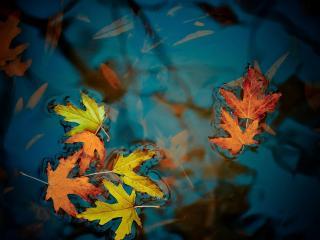 обои Клиновые листы в воде фото
