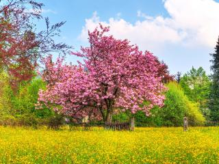 обои Розовое весеннее дерево, на желтой поляне фото