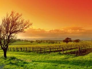 обои Красное небо над виноградниками фото
