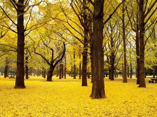 обои Парк усыпанный желтой,   опавшей листвой фото