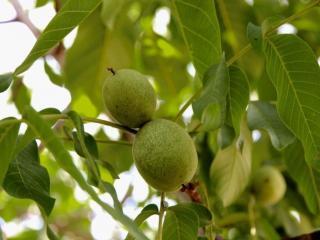 обои Грецкий орех и листья фото