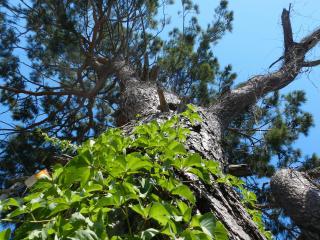 обои Ствол весеннего дерева, окутанного листьями фото