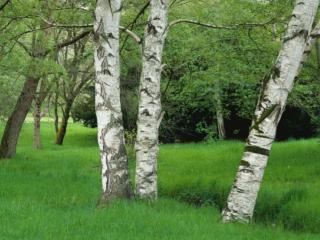 обои Берёзы на поляне фото