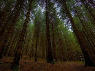 обои Ровные деревья стройного леса фото