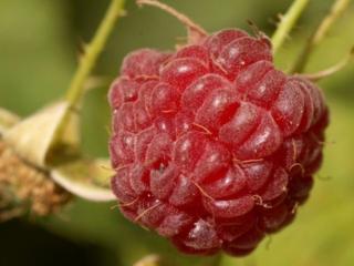 обои Крупная ягода-малина фото