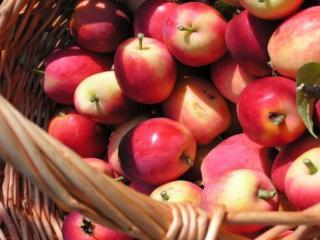 обои Первый урожай яблок фото