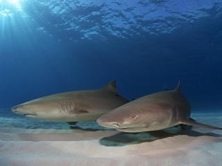 обои Две акулы на дне фото