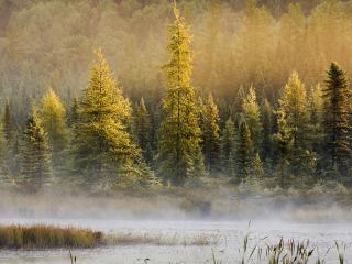 обои Еловый лес у реки с туманом фото