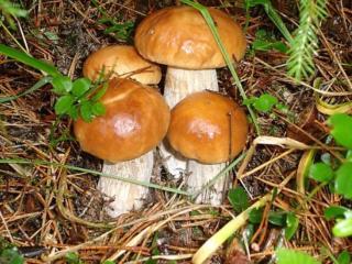 обои Семейка грибов натуральных фото