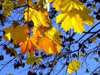обои Жёлто-красные листья клёна фото