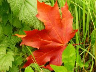 обои Красный лист кленовый на зелёной травке фото