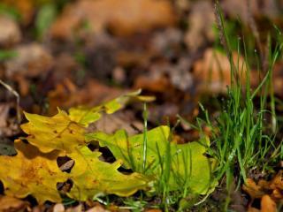 обои Листья дуба и зелёная травка фото