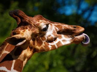обои Жираф облизывается фото