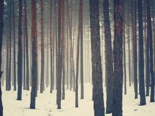 обои Стволы деревьев соснового леса зимой фото