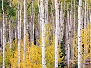 обои Стройные деревья белых берез фото