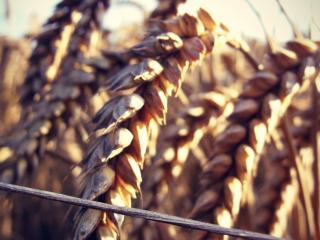 обои Колоски поспелой пшеницы фото