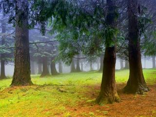 обои Деревья хвойные в лесу фото