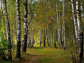 обои Березовый лес с тропинкой фото