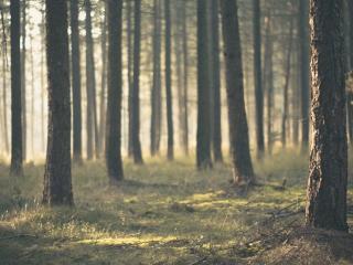 обои Дымка в лесу фото