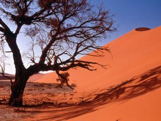 обои Полусухое дерево у песчаного бархана фото