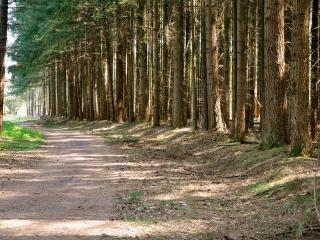 обои для рабочего стола: Грунтовая дорога через сосновый лес