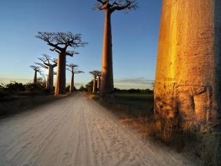 обои Баобабы у песчаной дороги фото