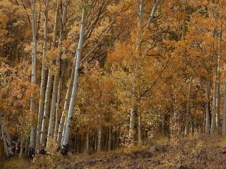 обои для рабочего стола: Хмурный березовый лес с пожелтевшей листвой