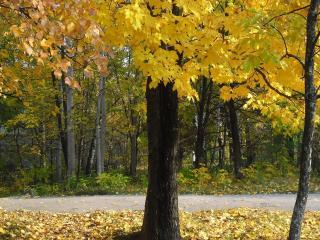 обои Пожелтевшие и опадающие листья с деревьев у дороги фото