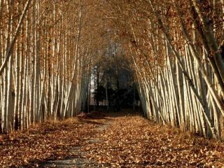 обои Тротуар в опавших березовых листьях фото