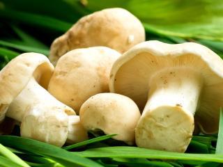 обои Срезанные грибы на зеленой траве фото