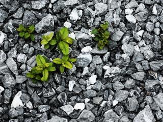 обои Зеленые ростки между камней гальки фото